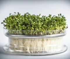 Проращиватель для зерен и семян стеклянный с металлическим ситом Semini